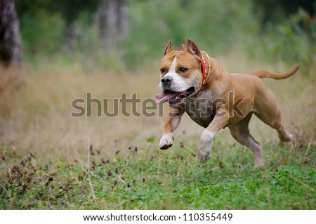 american staffordshire terrier run in the forest - stock photo