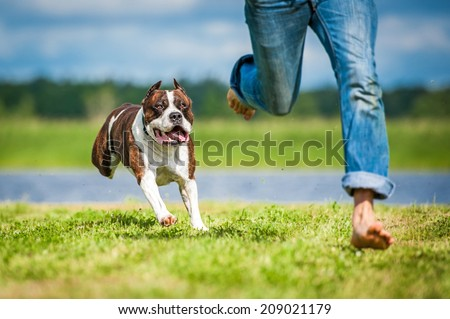 American staffordshire terrier running over a man - stock photo