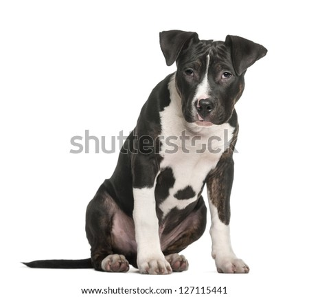 American Staffordshire Terrier sitting against white background - stock photo