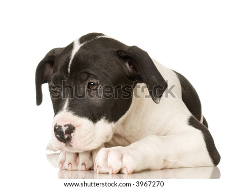 American Staffordshire terrier sitting in front of a white background - stock photo