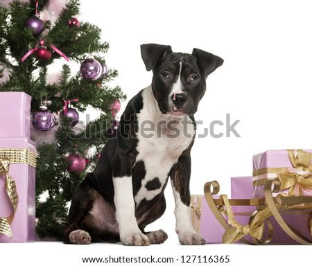 American Staffordshire Terrier sitting in front of Christmas decorations against white background - stock photo