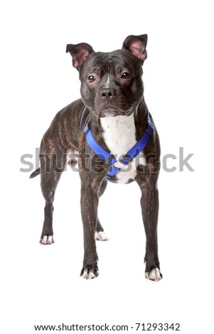 American Staffordshire Terrier standing, isolated on a white background - stock photo
