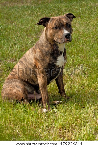 American Staffordshire Terrier The American Staffordshire Terrier should impress the dog, which has large for their size force; dog tightly downed; muscular but mobile and graceful. - stock photo
