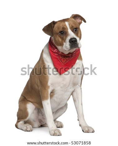 American Staffordshire terrier wearing handkerchief, 5 years old, in front of white background - stock photo