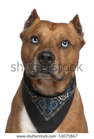 American Staffordshire terrier wearing handkerchief, 2 years old, in front of white background - stock photo