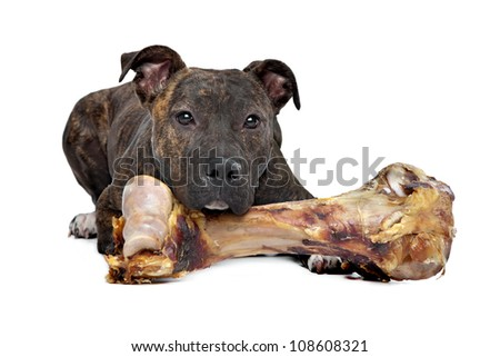 American Staffordshire terrier with a big bone in front of a white background - stock photo