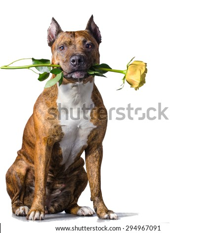 American Staffordshire Terrier with a yellow rose in the mouth before white background. - stock photo