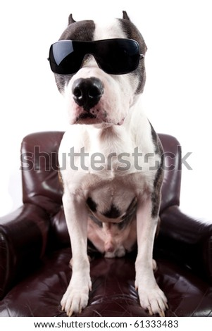 American staffordshire Terrier With sunglasses on a armchair isolated on white - stock photo