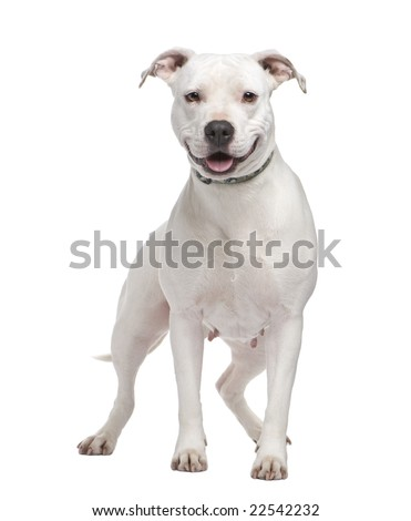 American Staffordshire terrier (4 years) in front of a white background - stock photo