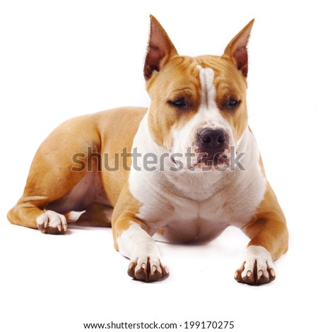 American Staffordshire terrier (4 years) of white background - stock photo