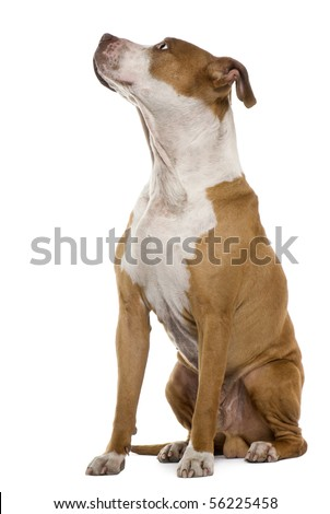 American Staffordshire terrier, 9 years old, sitting in front of white background - stock photo