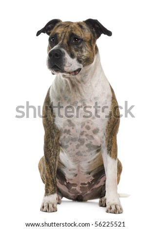 American Staffordshire terrier, 6 years old, sitting in front of white background - stock photo