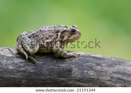 American Toad (Bufo americanus) - stock photo