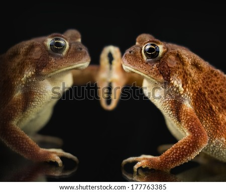 American toad close up. Sitting with foot on glass, with reflection, against dark background. - stock photo