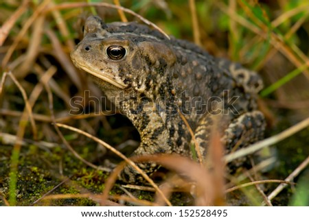 American Toad hiding in the grass. - stock photo