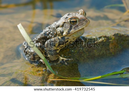 American Toad sitting in the shallow water.