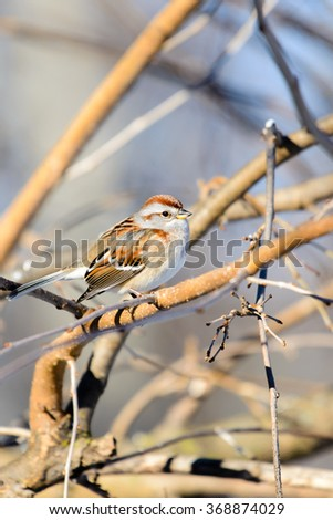 AMERICAN TREE SPARROW PERCHED IN A TREE