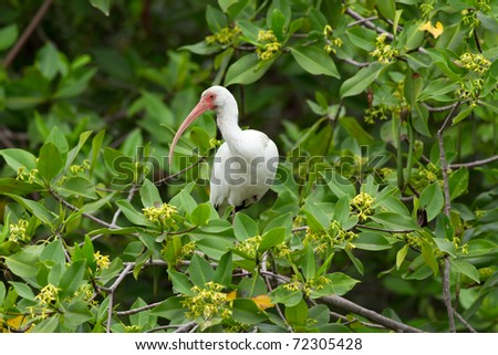AMERICAN WHITE IBIS IS A SPECIES OF WADING BIRD OF THE IBIS FAMILY THRESKIORNITHIDAE WHICH OCCURS FROM THE MID-ATLANTIC COAST OF THE UNITED STATES SOUTH THROUGH MOST OF THE NEW WORLD TROPICS   - stock photo