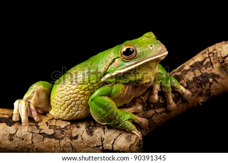 american white lipped frog - stock photo