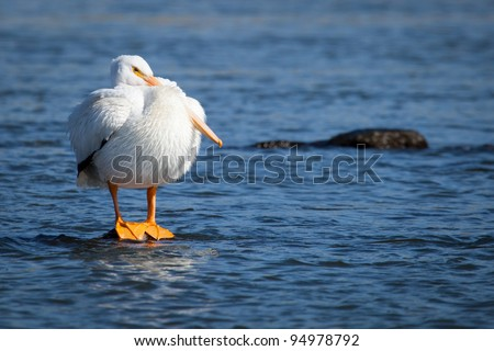 American White Pelican lost in thought - stock photo
