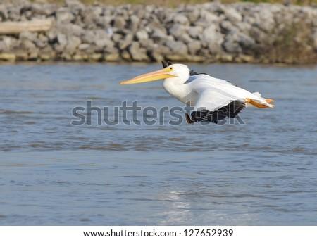 American White Pelican Pelecanus erythrorhynchos Louisiana flying swimming isolated water   - stock photo