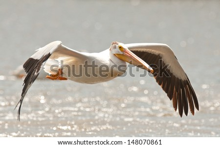 American white pelican, pelecanus erythrorhynchos, with wings outstretched and flying over the lake water - stock photo