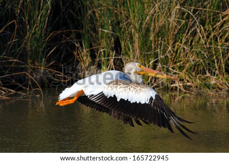 American White Pelican taking off in flight over water. - stock photo