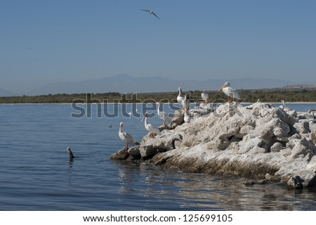 American white pelicans on shore rocks by the Salton sea - stock photo
