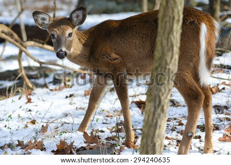 American White Tail Deer in winter forest  - stock photo