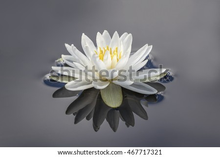 American White Water Lily (Nymphaea odorata) with reflection on a cloudy day - Haliburton, Ontario, Canada