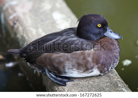 American Wood Duck - stock photo