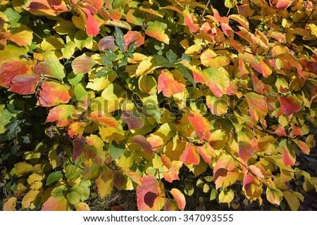 American Wych Hazel - Fothergilla majorAutumn Leaves - stock photo