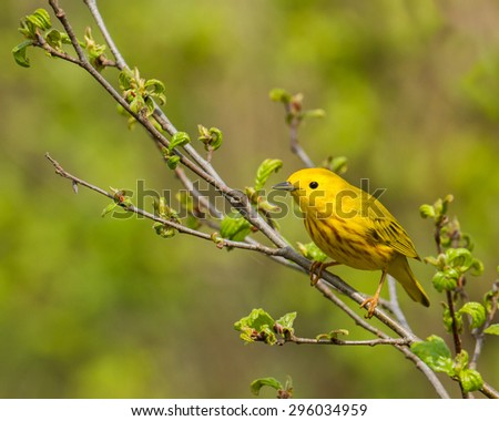 American yellow warbler perched on a branch.  Taken in Connecticut in spring. - stock photo