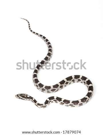 Amery Corn Snake (Elaphe guttata guttata) on white background.