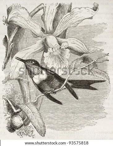 Amethyst Woodstar old illustration (Calliphlox amethystina). Created by Kretschmer and Jahrmargt, published on Merveilles de la Nature, Bailliere et fils, Paris, ca. 1878 - stock photo