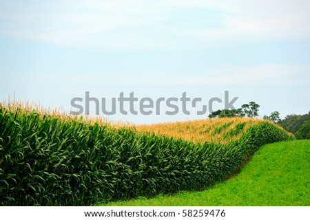 Amish Country Cornfield and rows of unpicked corn - stock photo
