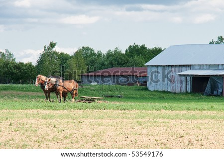 Amish Farm Scene.  A matched team of two stout plow horses calmly wait for their master outside the barn on an Amish family farm
