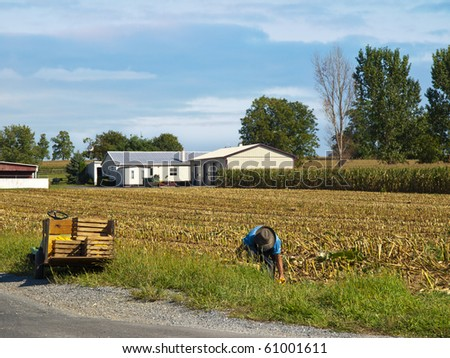 Amish Farmer harvesting corn - stock photo