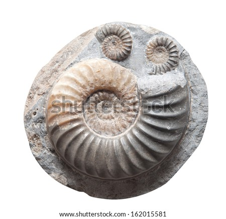 Ammonite fossil embedded in stone, spiral snail, real ancient petrified shell isolated on white