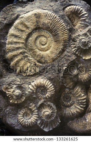 Ammonites fossil. - stock photo