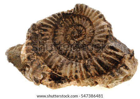 ammonites fossil isolated on the white background