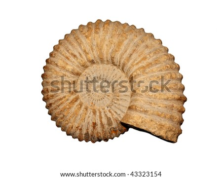 Ammonites Parkinsonia sp. from the Jurassic of Morocco. - stock photo