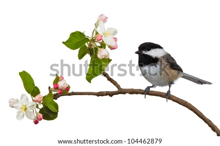 Among the flowering blossoms of an apple tree, a black capped chickadee perches itself. The black and white feathers contrast well with the colorful pink and white blossoms. On a white background. - stock photo