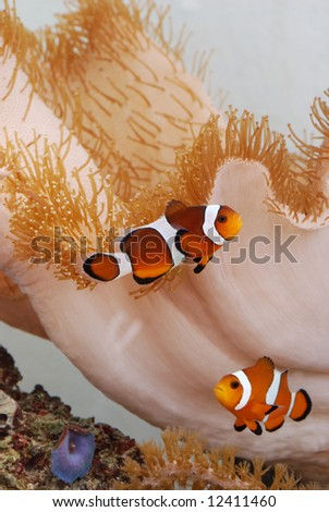 Amphiprion ocellaris clownfish amongst corals - stock photo