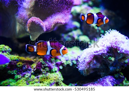 Amphiprion Ocellaris Clownfish In Marine Aquarium. Clownfish swim around their host anemone with blue water behind. Photo of a tropical Fish on a coral reef.