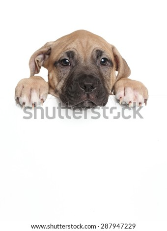 Amstaff puppy above banner isolated on white background - stock photo