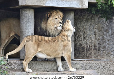 Amsterdam, Holland - May 2015: A lioness and a lion cuddling  in a zoo - stock photo
