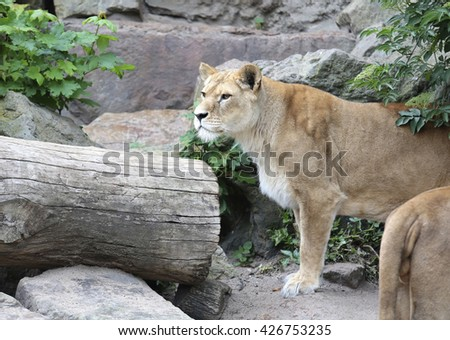 Amsterdam, Holland - May 2015: A lioness in a zoo in Holland - stock photo