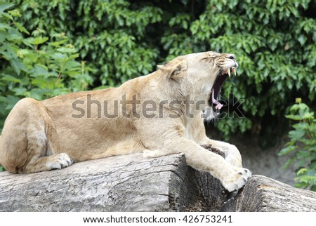 Amsterdam, Holland - May 2015: A tired lioness in a zoo - stock photo