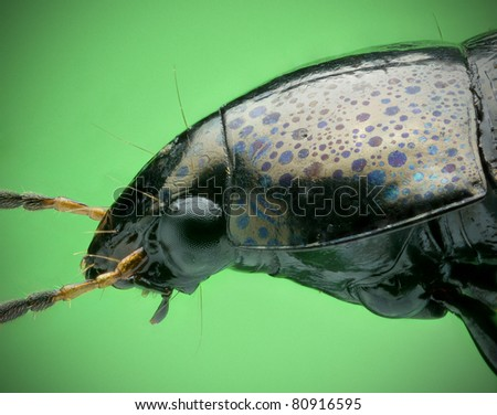 Amur Beetle - stock photo